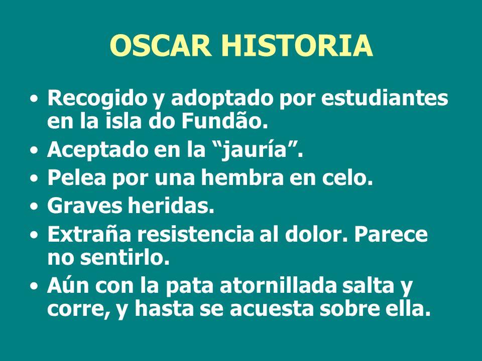 OSCAR HISTORIA Recogido y adoptado por estudiantes en la isla do Fundão. Aceptado en la jauría . Pelea por una hembra en celo.