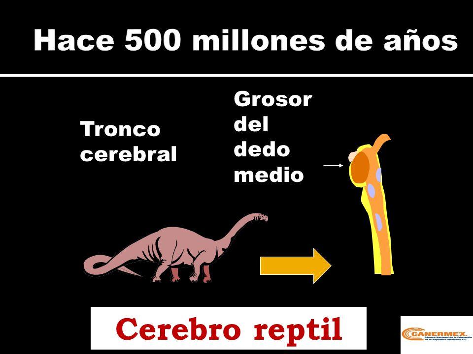 Cerebro reptil Hace 500 millones de años Grosor del dedo medio