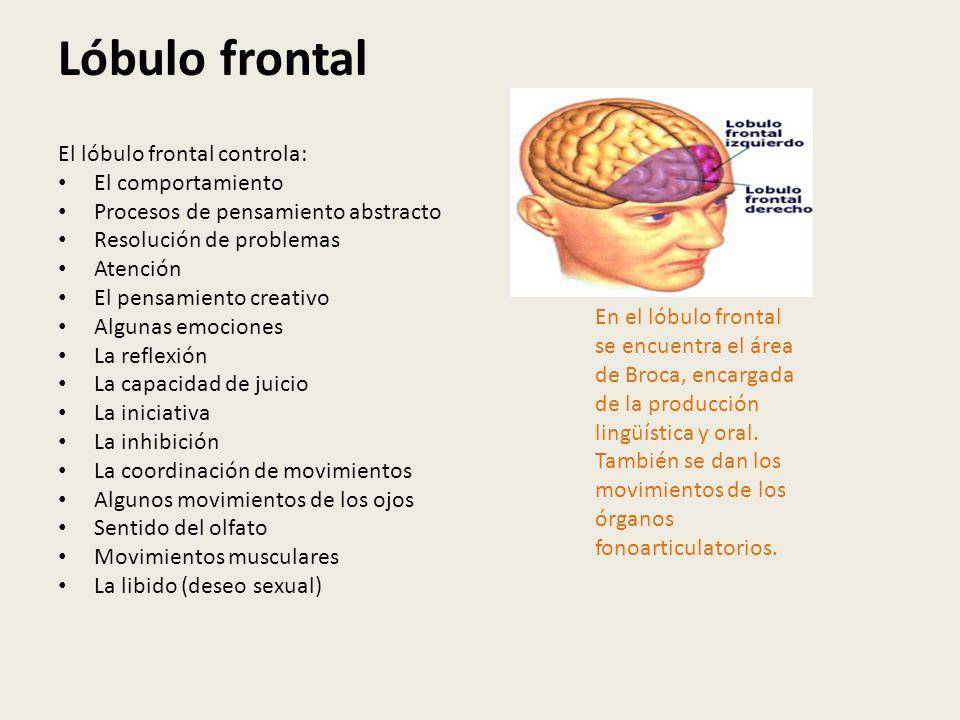 Lóbulo frontal El lóbulo frontal controla: El comportamiento