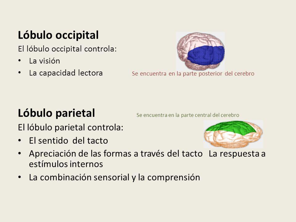 Lóbulo parietal Se encuentra en la parte central del cerebro