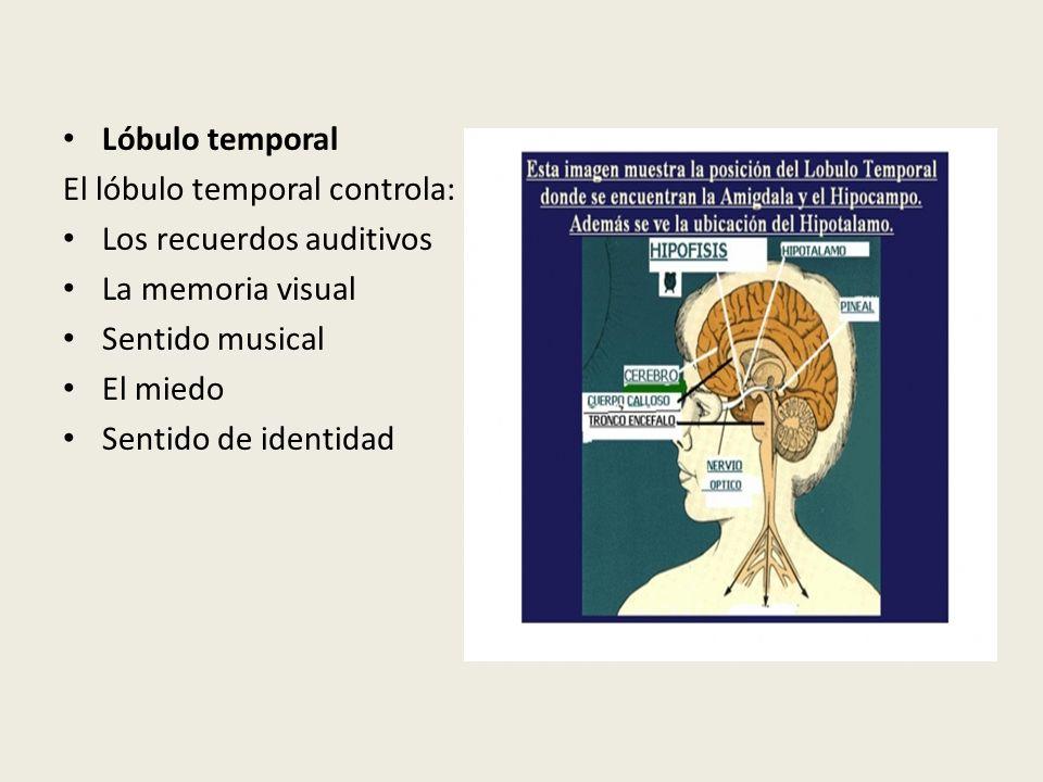 Lóbulo temporal El lóbulo temporal controla: Los recuerdos auditivos. La memoria visual. Sentido musical.