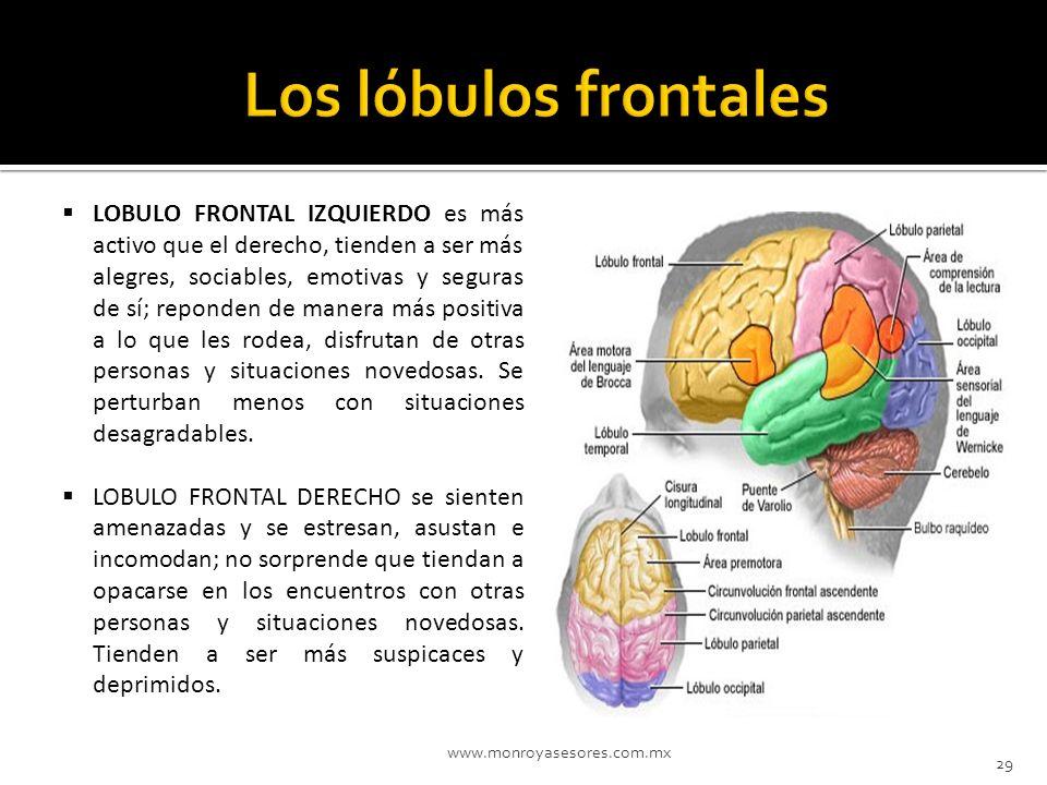 Los lóbulos frontales