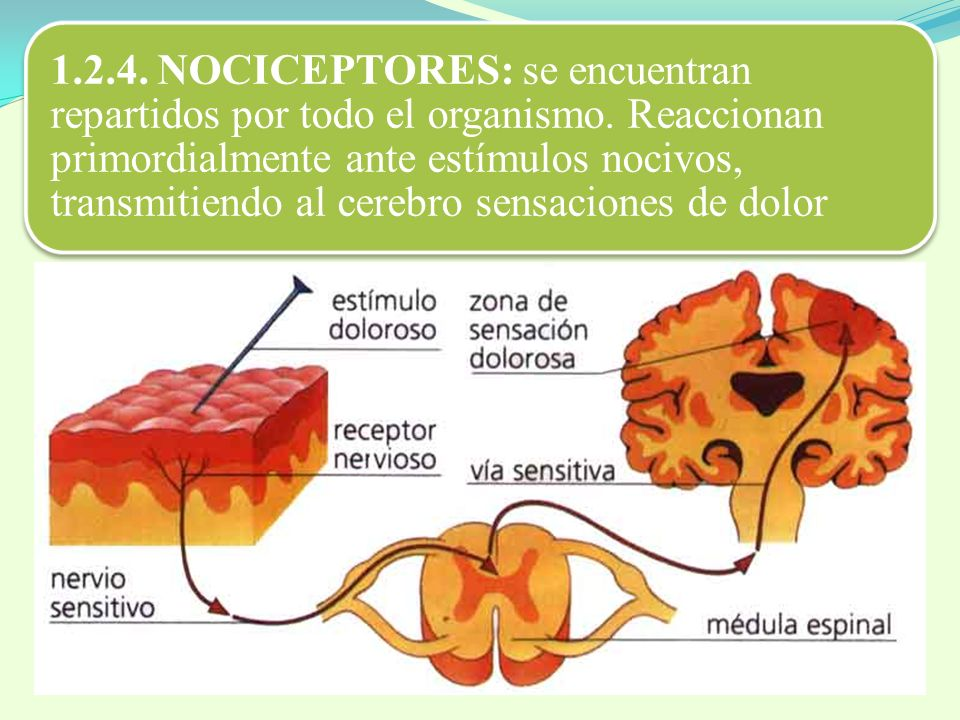 1. 2. 4. NOCICEPTORES: se encuentran repartidos por todo el organismo