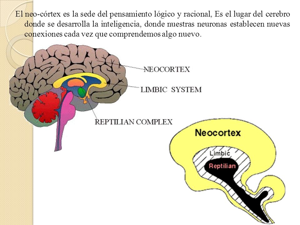 El neo-córtex es la sede del pensamiento lógico y racional, Es el lugar del cerebro donde se desarrolla la inteligencia, donde nuestras neuronas establecen nuevas conexiones cada vez que comprendemos algo nuevo.