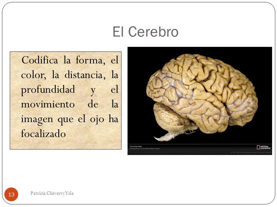 El Cerebro Codifica la forma, el color, la distancia, la profundidad y el movimiento de la imagen que el ojo ha focalizado.