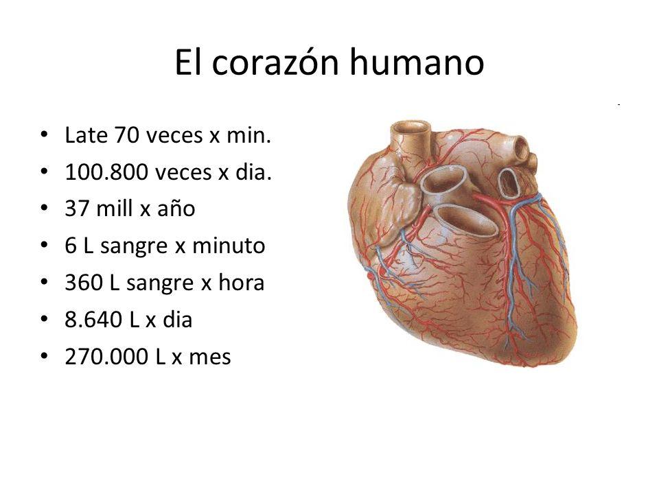 El corazón humano Late 70 veces x min. 100.800 veces x dia.