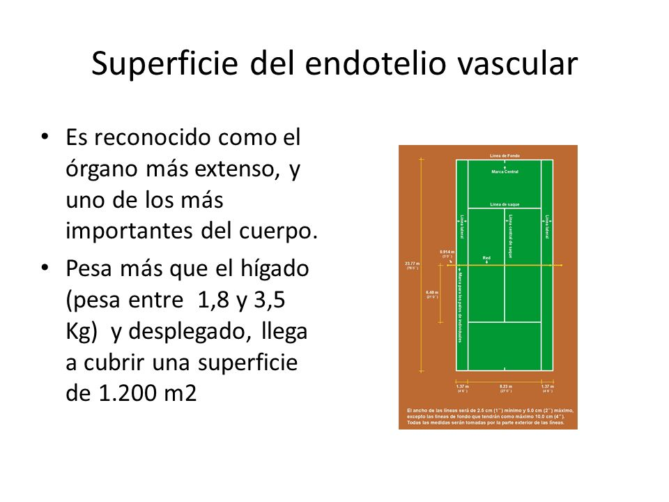 Superficie del endotelio vascular