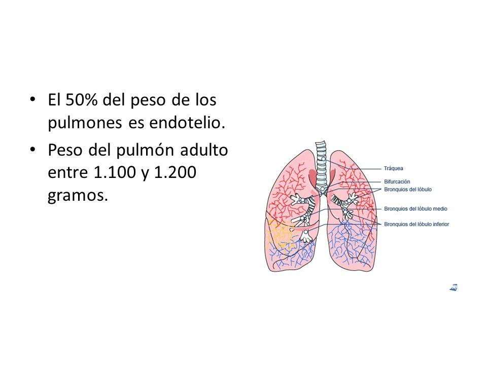 El 50% del peso de los pulmones es endotelio.