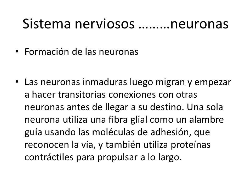 Sistema nerviosos ………neuronas