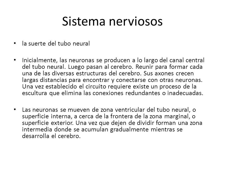 Sistema nerviosos la suerte del tubo neural