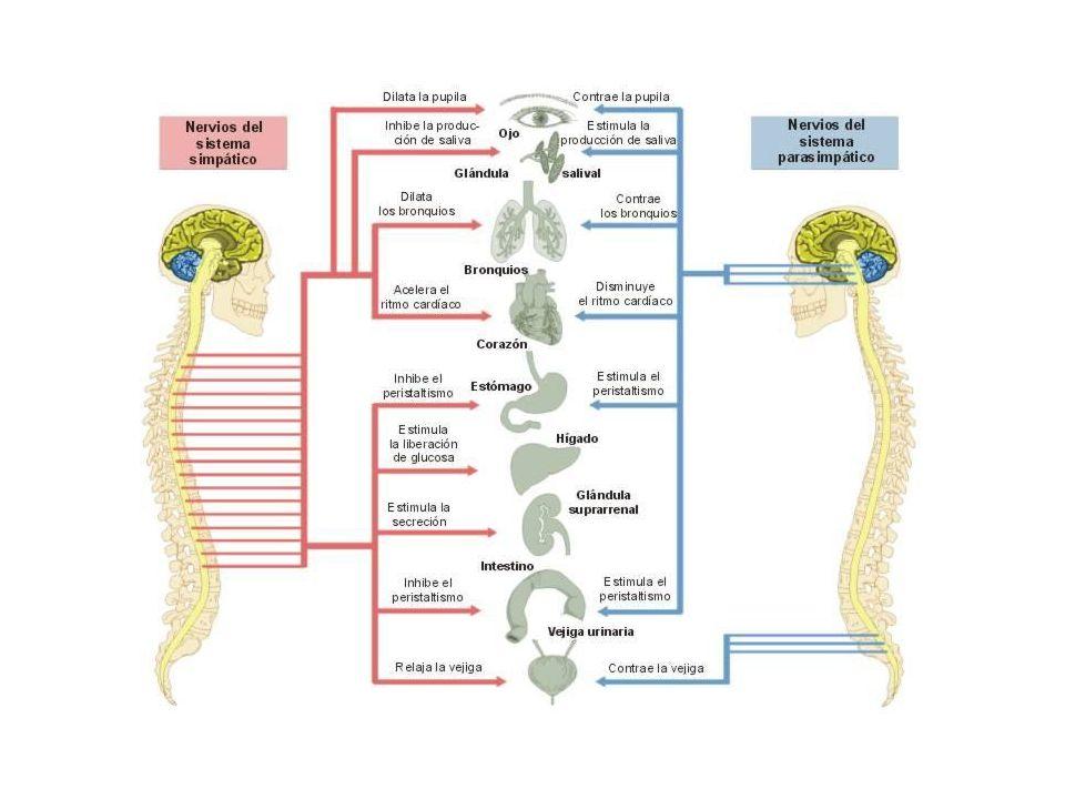 Sistema nervioso completo linfatico
