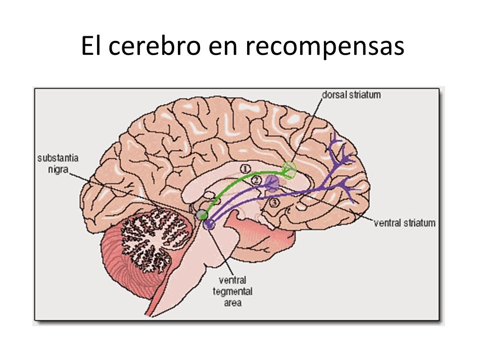 El cerebro en recompensas