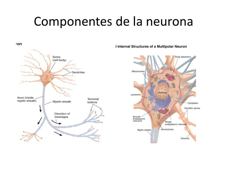Componentes de la neurona