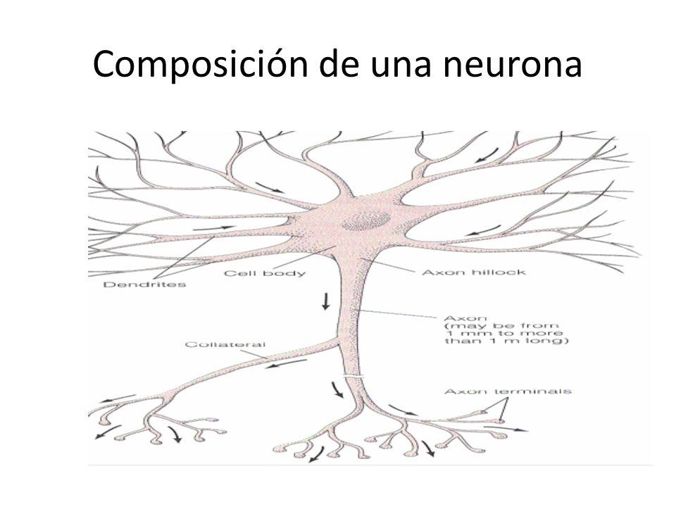 Composición de una neurona