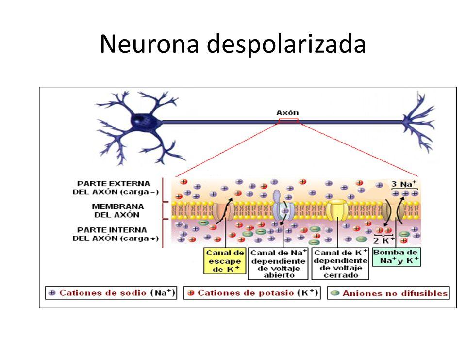 Neurona despolarizada