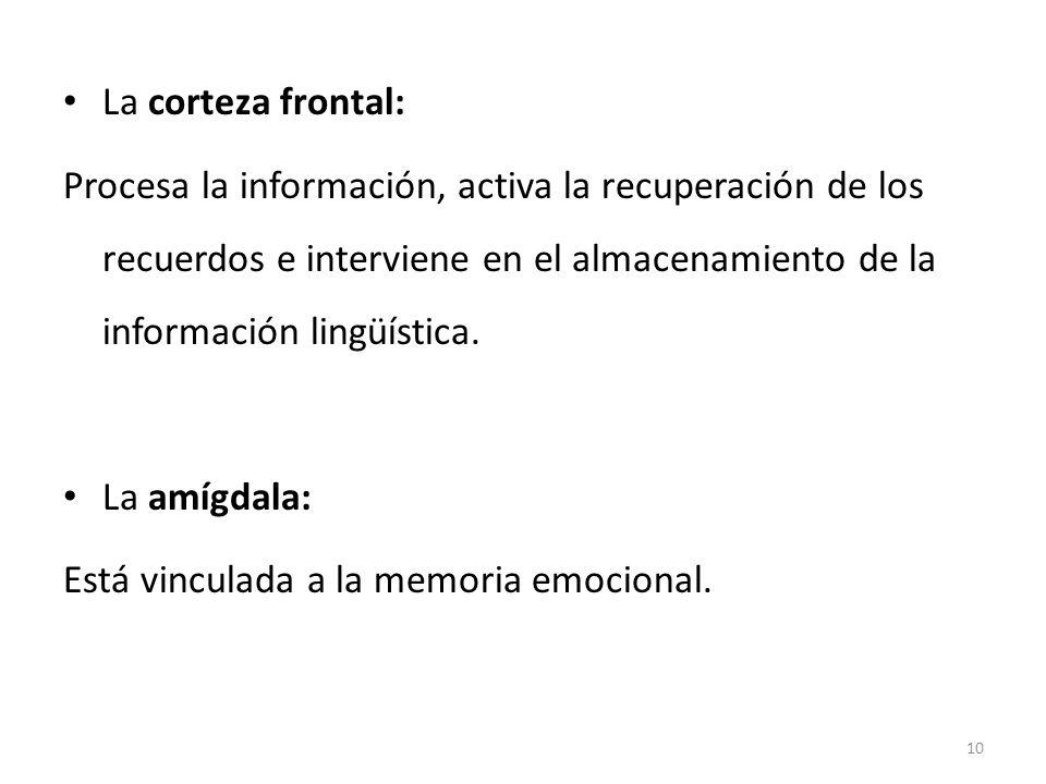 La corteza frontal: Procesa la información, activa la recuperación de los recuerdos e interviene en el almacenamiento de la información lingüística.
