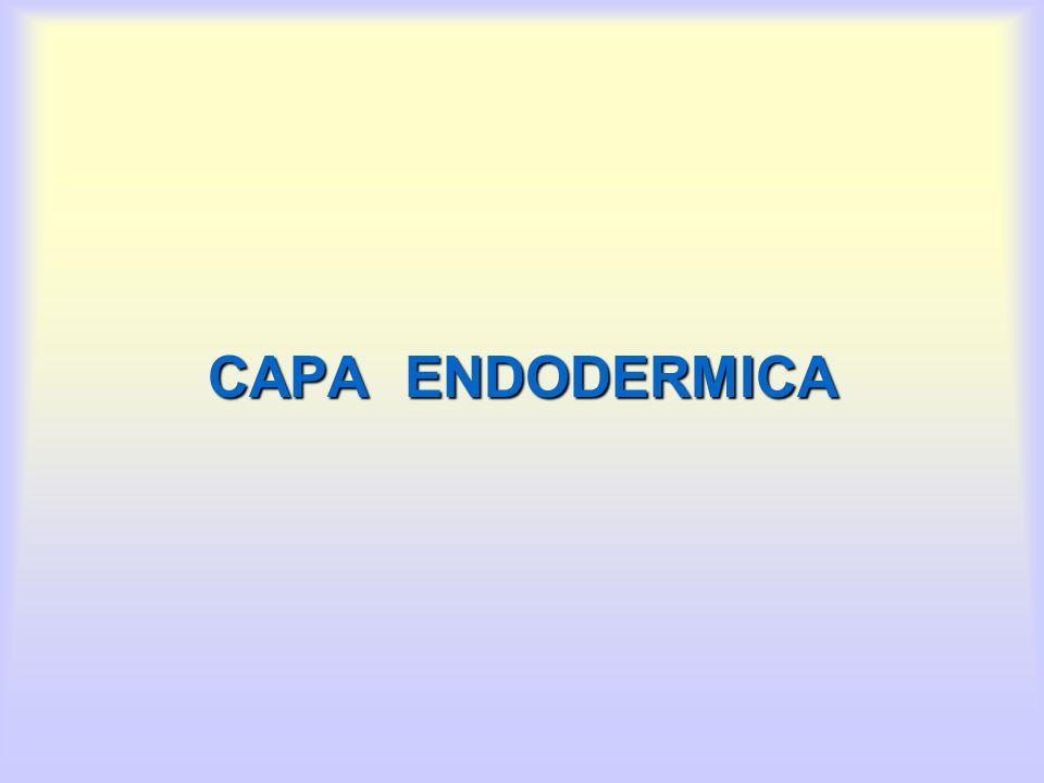 CAPA ENDODERMICA