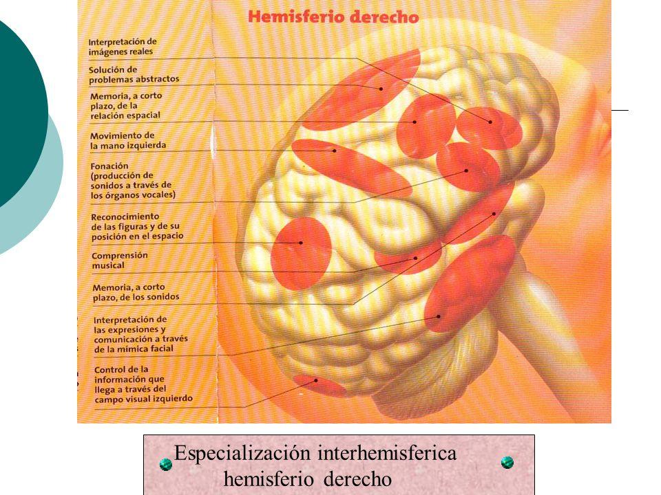 Especialización interhemisferica