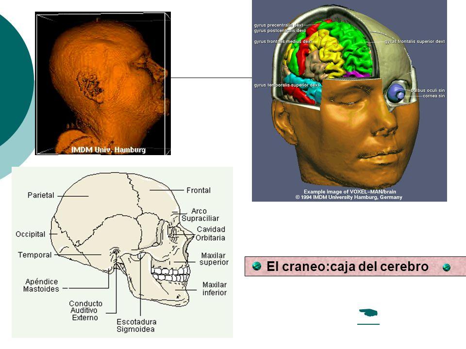 El craneo:caja del cerebro