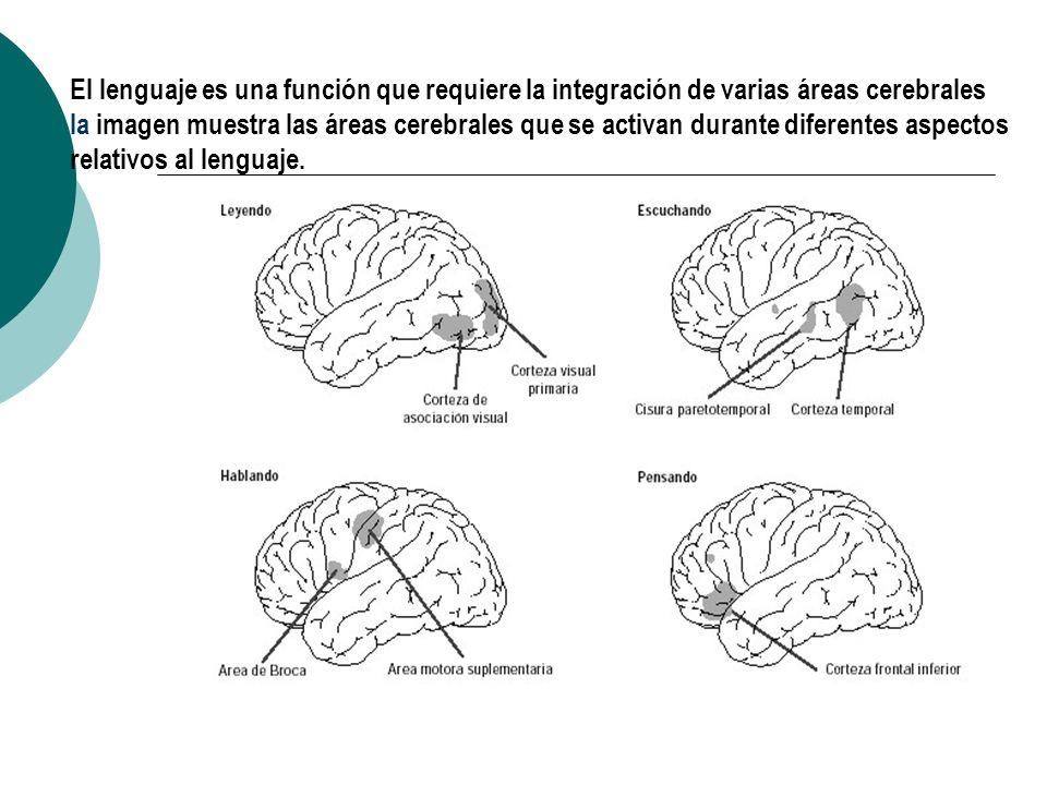 El lenguaje es una función que requiere la integración de varias áreas cerebrales la imagen muestra las áreas cerebrales que se activan durante diferentes aspectos relativos al lenguaje.