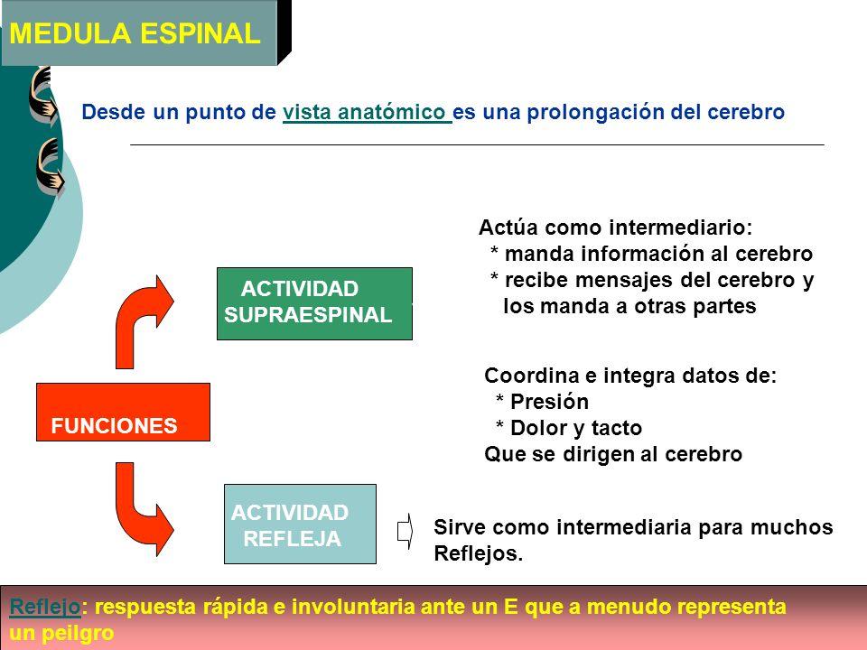 MEDULA ESPINAL Desde un punto de vista anatómico es una prolongación del cerebro. Actúa como intermediario:
