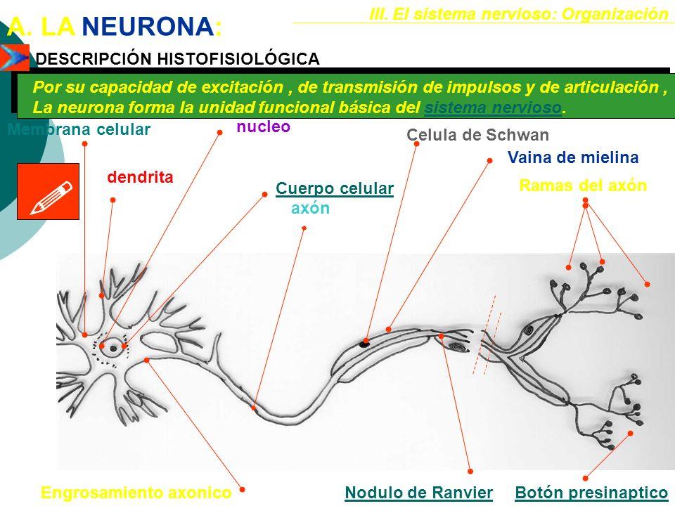  A. LA NEURONA: III. El sistema nervioso: Organización