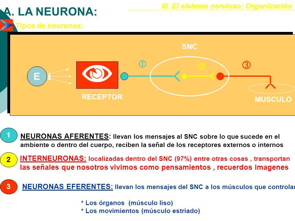  A. LA NEURONA:    E III. El sistema nervioso: Organización