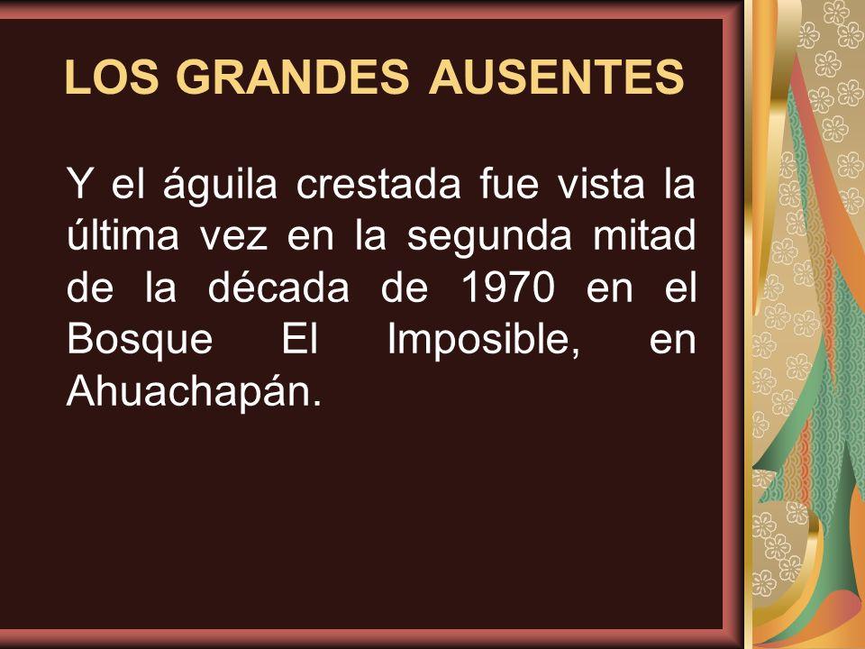 LOS GRANDES AUSENTES Y el águila crestada fue vista la última vez en la segunda mitad de la década de 1970 en el Bosque El Imposible, en Ahuachapán.