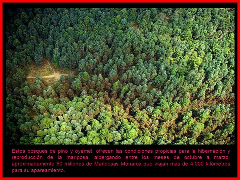 Estos bosques de pino y oyamel, ofrecen las condiciones propicias para la hibernación y reproducción de la mariposa, albergando entre los meses de octubre a marzo, aproximadamente 60 millones de Mariposas Monarca que viajan más de 4,000 kilómetros para su apareamiento.