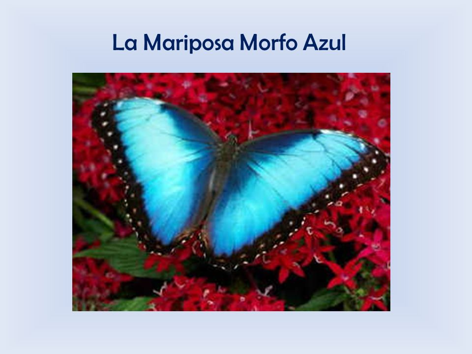 La Mariposa Morfo Azul