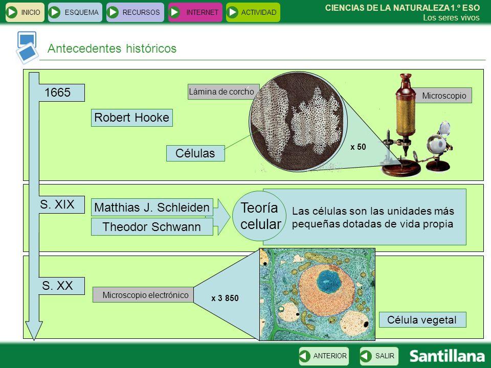 Teoría celular Antecedentes históricos 1665 Robert Hooke Células