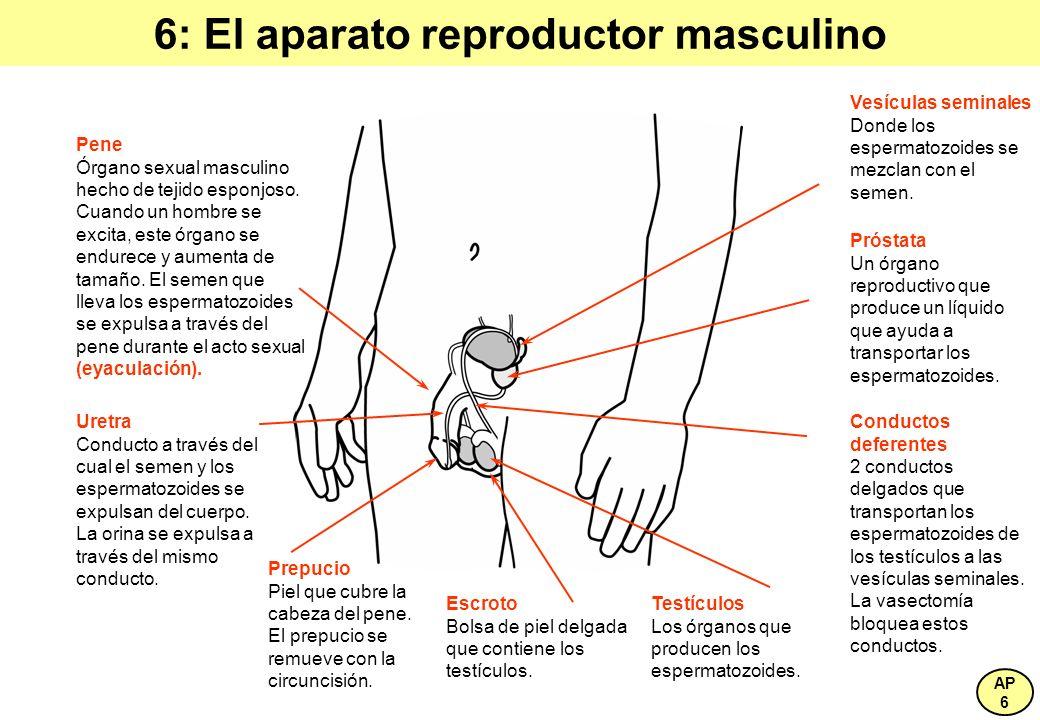 6: El aparato reproductor masculino
