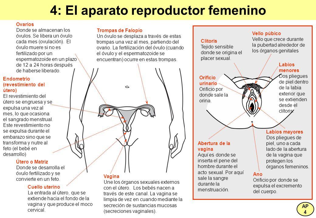 4: El aparato reproductor femenino