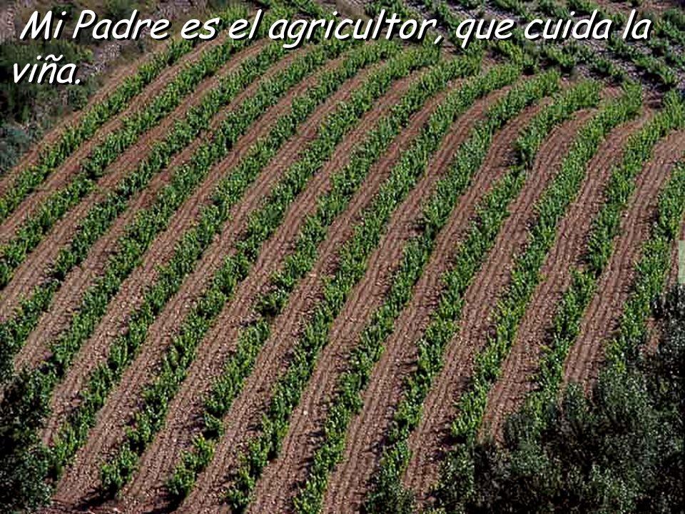 Mi Padre es el agricultor, que cuida la viña.