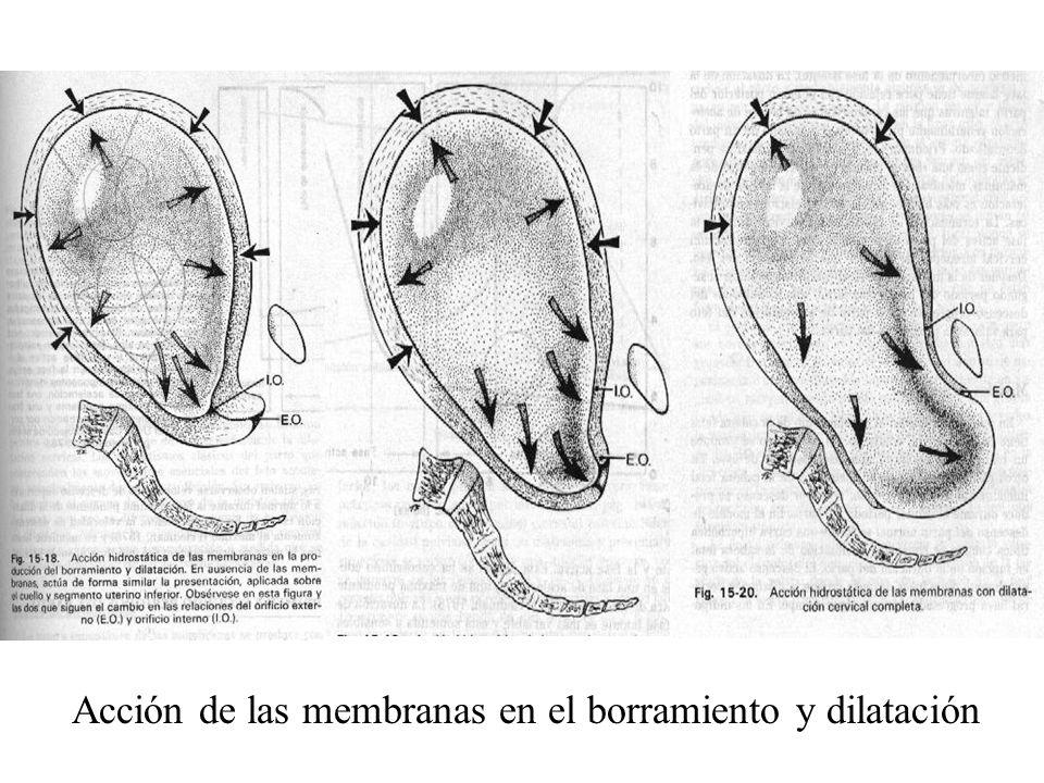 Acción de las membranas en el borramiento y dilatación