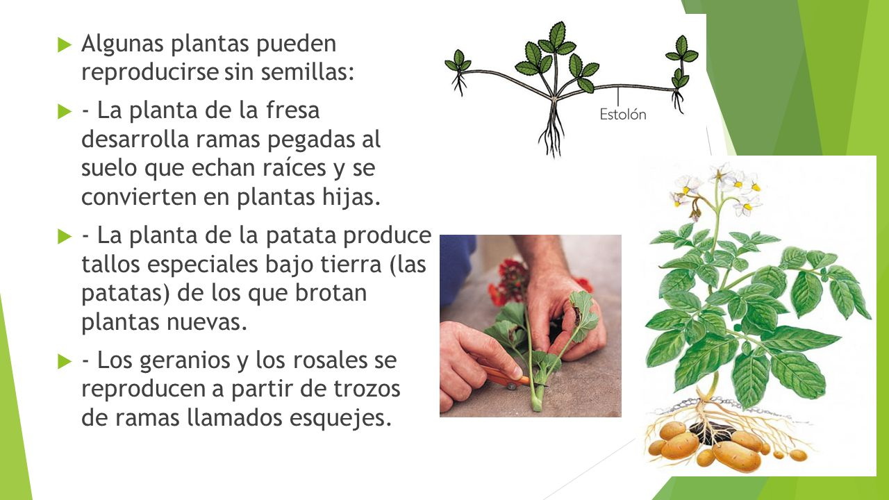 Naturales 4 ppt video online descargar for Plantas sin semillas
