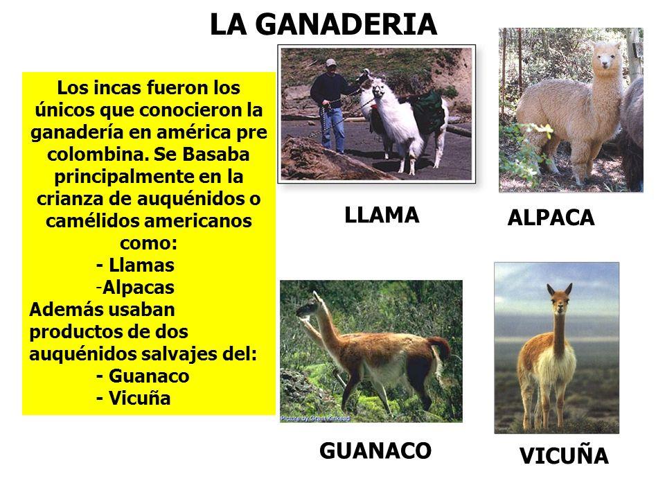 LA GANADERIA LLAMA ALPACA GUANACO VICUÑA