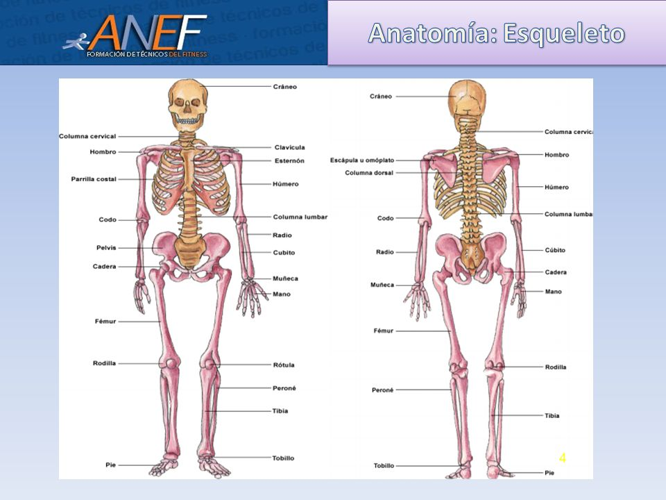 Magnífico Soportar La Anatomía Esqueleto Foto - Anatomía de Las ...