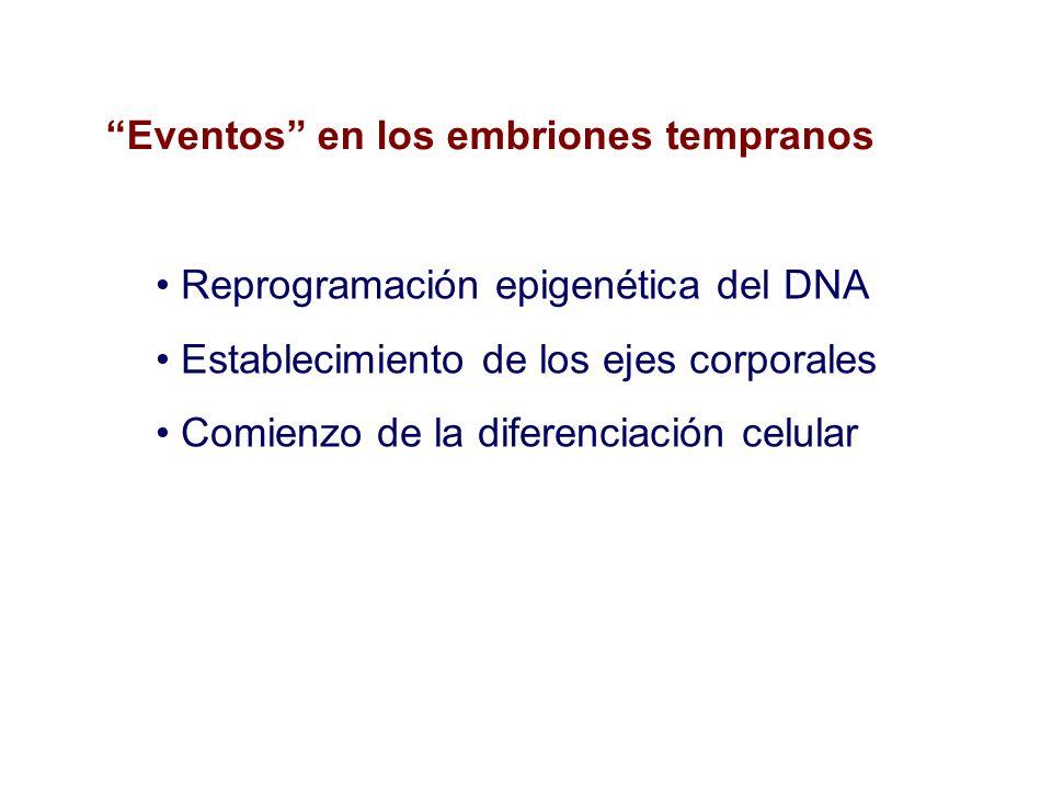 Eventos en los embriones tempranos