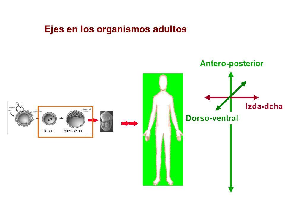 Ejes en los organismos adultos
