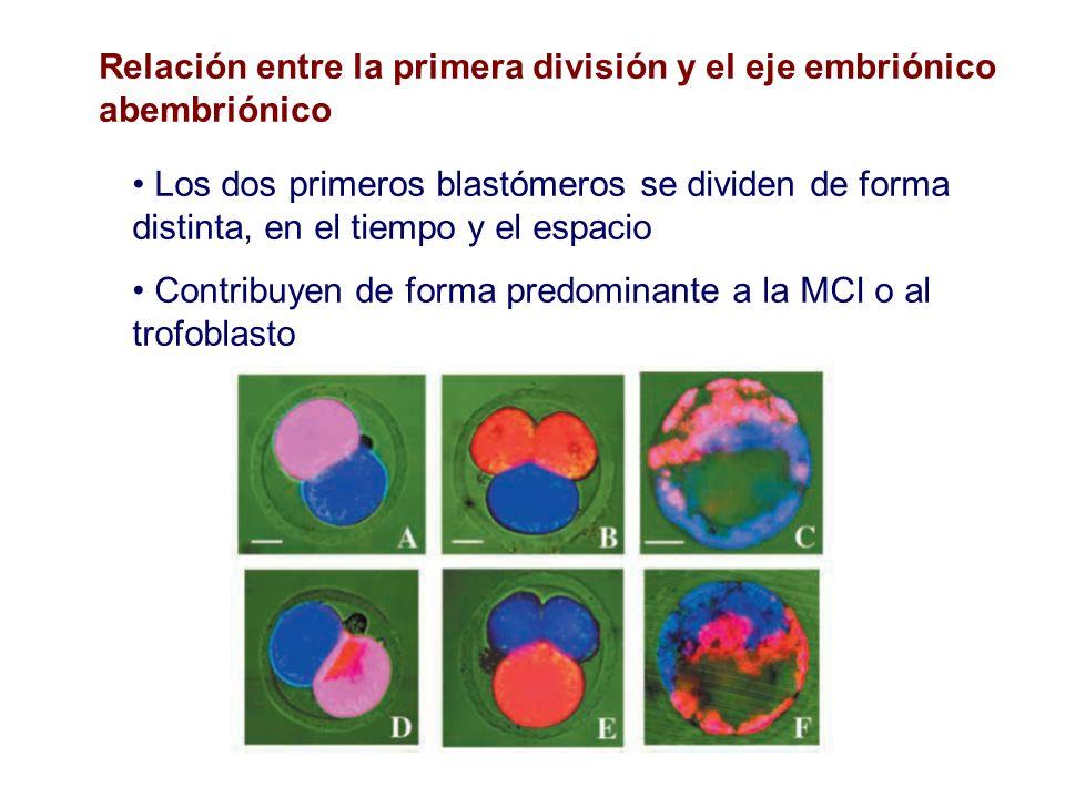Relación entre la primera división y el eje embriónico abembriónico