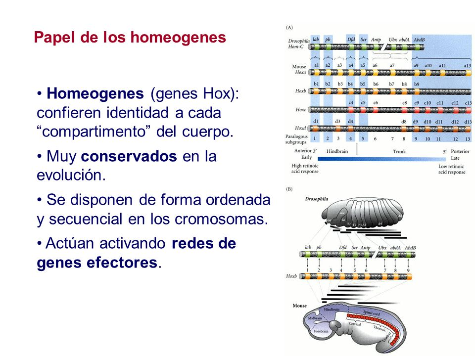 Papel de los homeogenes