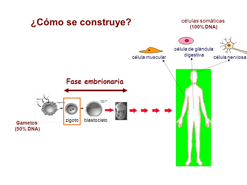 ¿Cómo se construye Fase embrionaria células somáticas (100% DNA)