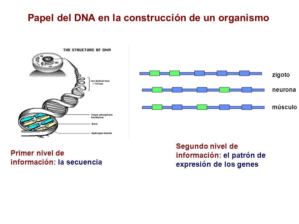 Papel del DNA en la construcción de un organismo