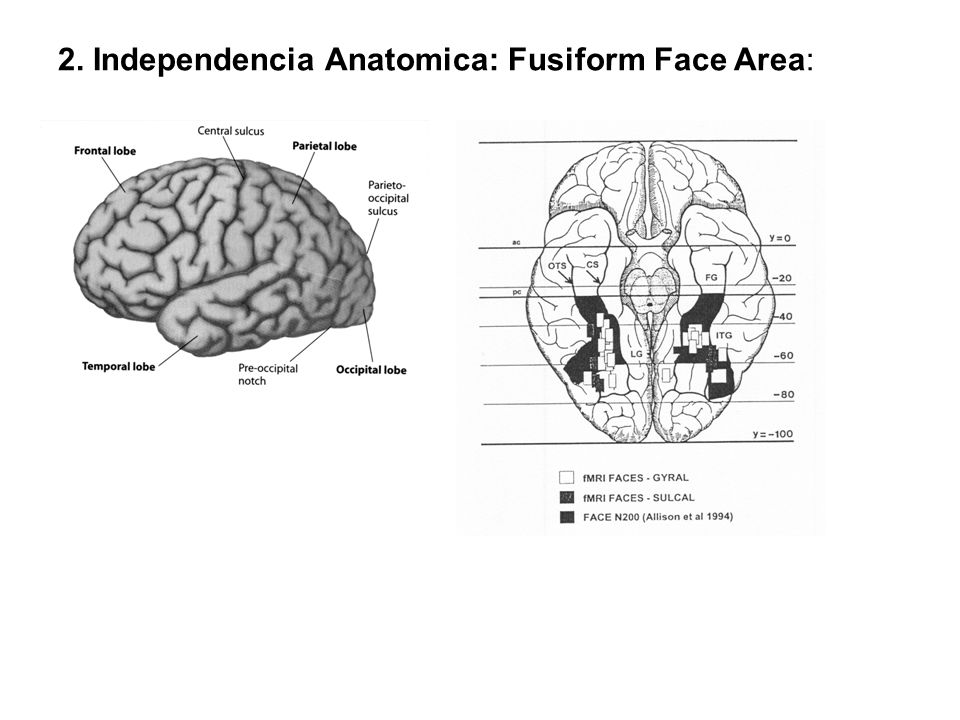 2. Independencia Anatomica: Fusiform Face Area: