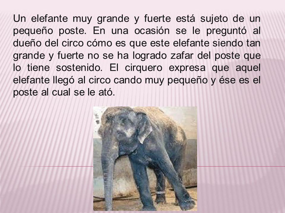 Un elefante muy grande y fuerte está sujeto de un pequeño poste