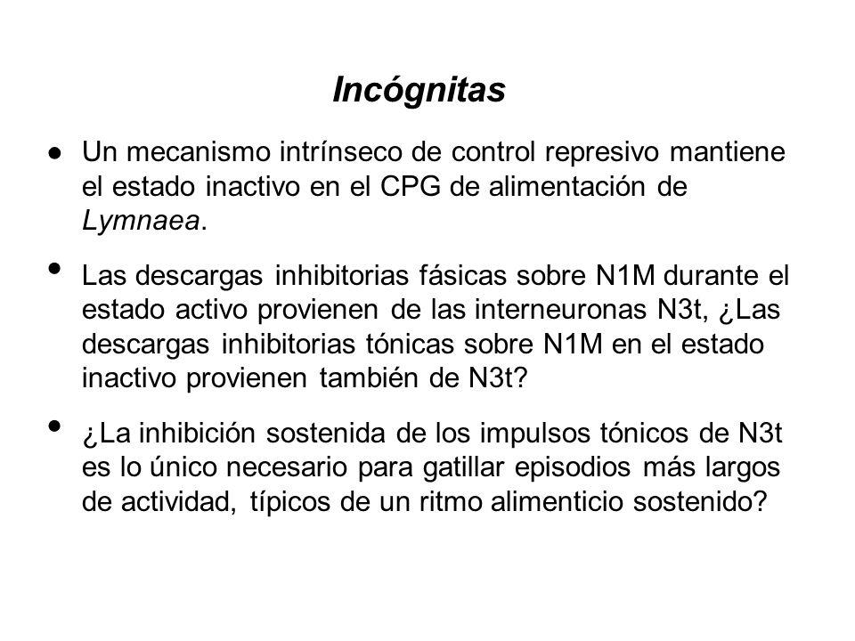 Incógnitas Un mecanismo intrínseco de control represivo mantiene el estado inactivo en el CPG de alimentación de Lymnaea.