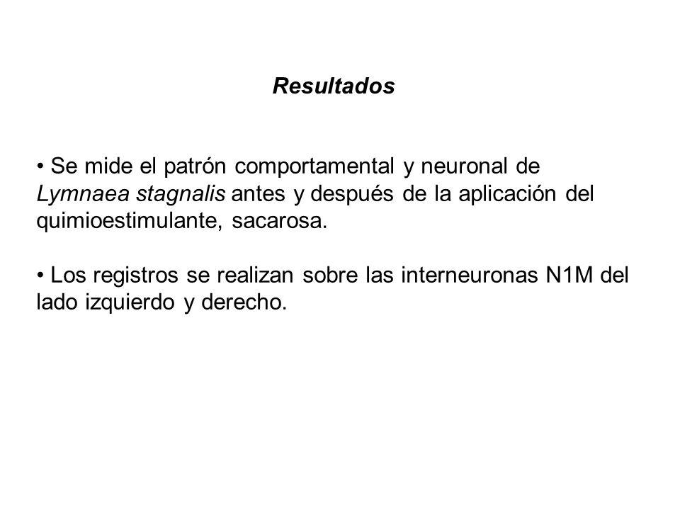 Resultados Se mide el patrón comportamental y neuronal de Lymnaea stagnalis antes y después de la aplicación del quimioestimulante, sacarosa.