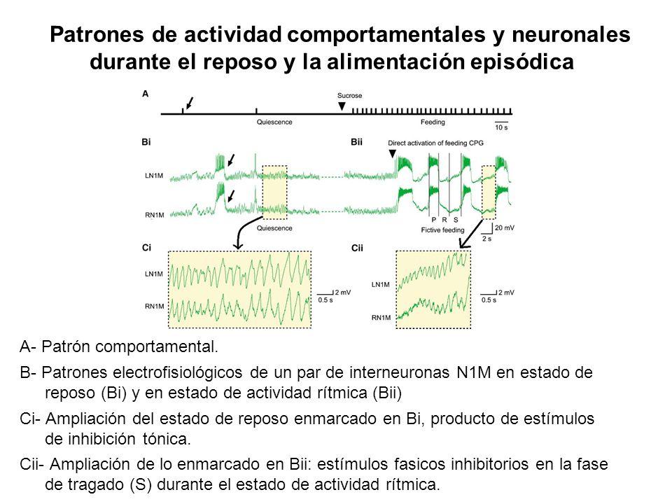 Patrones de actividad comportamentales y neuronales durante el reposo y la alimentación episódica