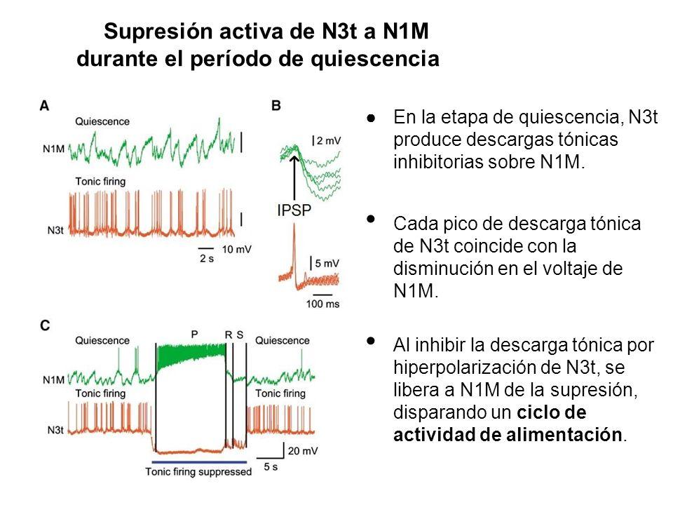 Supresión activa de N3t a N1M durante el período de quiescencia